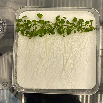 Thale cress plants sit in a collection dish with their roots exposed.